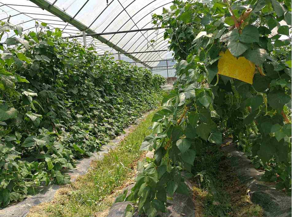 贵州紫云黔华农业蔬菜种植基地的台湾棒豆